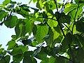 Starr-091104-0840-Gmelina arborea-leaves-Kahanu Gardens NTBG Kaeleku Hana-Maui (24961382056).jpg