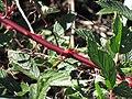 Starr-091209-0394-Rubus niveus-form b stem and thorns-Polipoli-Maui (24361304024).jpg