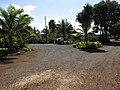 Starr-110209-0934-Alpinia zerumbet-habit-Resort Management Group Nursery Kihei-Maui (25074992675).jpg