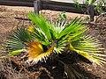 Starr-110328-3521-Pritchardia sp-still alive after tsunami with surrounding plants dead with Kim-Kanaha Beach-Maui (24453411673).jpg