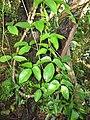 Starr-110330-3825-Strongylodon macrobotrys-leaves-Garden of Eden Keanae-Maui (24785184800).jpg