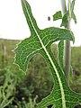 Starr-110503-5455-Lactuca sativa-leaves-Kula-Maui (25068417066).jpg