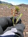 Starr-110712-7009-Lepidium virginicum-seeds-Near Puu Naue HNP-Maui (25072562296).jpg