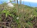 Starr-110924-9497-Andropogon virginicus-seedhead-Makamakaole-Maui (25088587546).jpg