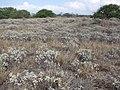 Starr-130422-4280-Encelia farinosa-habit filling area-Kahului-Maui (24583641313).jpg