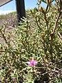 Starr-130618-5207-Sesuvium verrucosum-flowers-Kealia Pond NWR-Maui (24844976249).jpg
