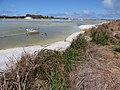 Starr-150401-0328-Paspalum urvillei-habit with Laysan Ducks-Water Catchment Sand Island-Midway Atoll (24645905863).jpg
