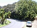 Starr 010425-0107 Ficus elastica.jpg