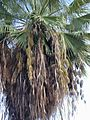 Starr 010914-0071 Washingtonia robusta.jpg