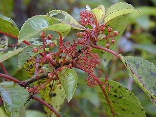 Huerteales Order of flowering plants