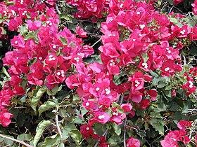 Starr 030418-0060 Bougainvillea spectabilis.jpg