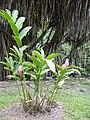Starr 030807-0082 Alpinia purpurata.jpg