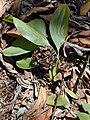 Starr 031013-0034 Acacia mangium.jpg