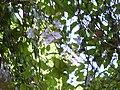 Starr 031108-2134 Thunbergia laurifolia.jpg