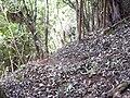 Starr 040730-0008 Freycinetia arborea.jpg