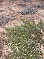 Starr 040801-0003 Tribulus cistoides.jpg