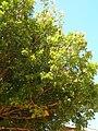 Starr 050516-1369 Swietenia mahogani.jpg