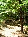 Starr 050904-4377 Araucaria columnaris.jpg