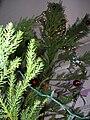 Starr 051204-8556 Cryptomeria japonica.jpg