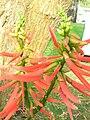 Starr 060121-5950 Erythrina berteroana.jpg
