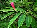 Starr 060922-9068 Alpinia purpurata.jpg