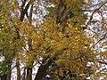 Starr 070205-4086 Carya pecan.jpg