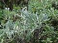 Starr 070208-4345 Artemisia australis.jpg