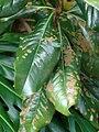 Starr 070320-5757 Magnolia grandiflora.jpg