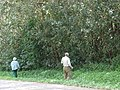 Starr 070328-6182 Syzygium jambos.jpg