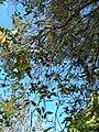 Starr 071024-8794 Corymbia ficifolia.jpg