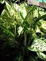 Starr 080103-1154 Dieffenbachia sp..jpg