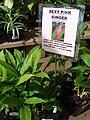 Starr 080117-2204 Alpinia purpurata.jpg
