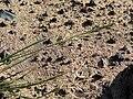 Starr 080207-2392 Sporobolus pyramidatus.jpg