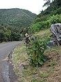 Starr 080314-3506 Nicotiana tabacum.jpg