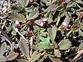 Starr 080602-5387 Phyla nodiflora.jpg