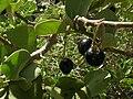 Starr 080603-9125 Solanum nelsonii.jpg