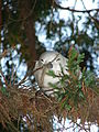 Starr 080604-6198 Juniperus bermudiana.jpg