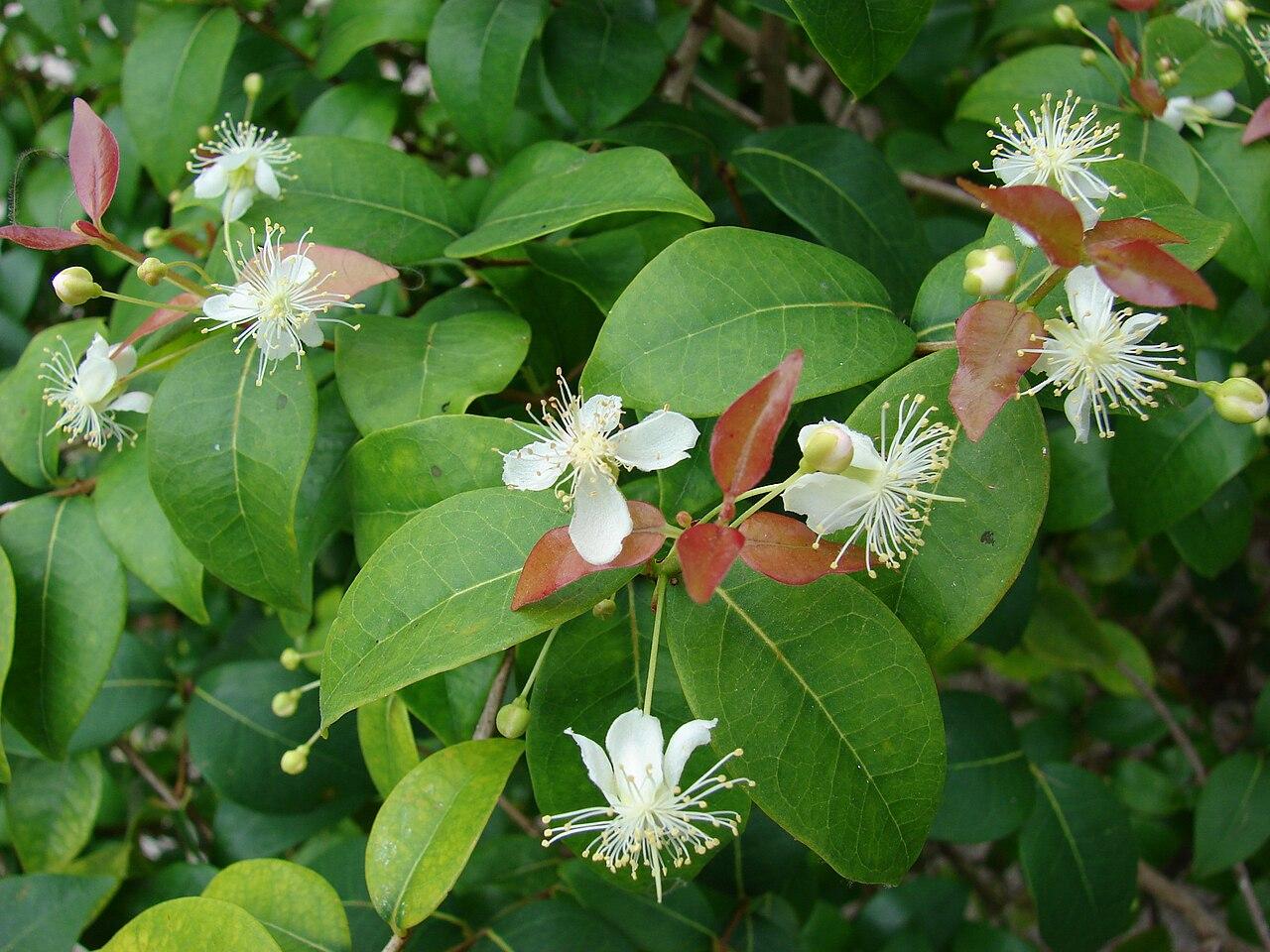 Eugenia uniflora flowers