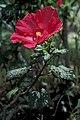 Starr 980529-1410 Hibiscus moscheutos.jpg