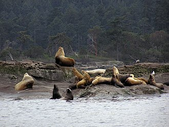 Steller sea lion - Steller sea lions congregate on rocks in the Gulf Islands of British Columbia