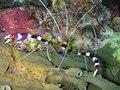 Stenopus hispidus - Banded Boxer Shrimp (234708999).jpg