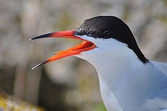 Common tern - Adult S. h. hirundo in breeding plumage at Nantucket National Wildlife Refuge, Massachusetts