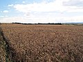 Still to harvest. - geograph.org.uk - 523231.jpg