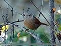 Streaked Laughingthrush (Trochalopteron lineatum) (15272803904).jpg