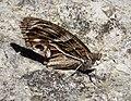 Striped Grayling. Pseudotergumia fidia (39219342065).jpg