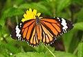Striped Tiger Danaus genutia by Dr. Raju Kasambe DSCN0110 (2).jpg