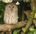 Strix uralensis -Banham Zoo, Norfolk, England-8a.jpg