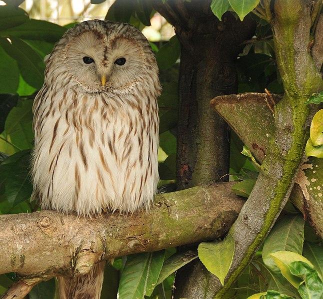 Ficheiro:Strix uralensis -Banham Zoo, Norfolk, England-8a.jpg