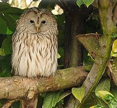 Sowiarnia- sowy, klatki i przysmaki 240px-Strix_uralensis_-Banham_Zoo,_Norfolk,_England-8a