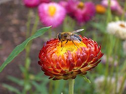 Helichrysum bracteatum with Flower-fly